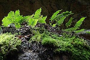 Common Polypody (Polypodium vulgare) Dysmorodr...