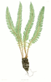 Polystichum lonchitis Moore9.png