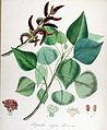 Populus nigra — Flora Batava — Volume v14.jpg