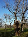 Populus nigra sl8.jpg