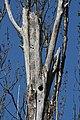 Populus trichocarpa 3887.JPG