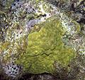 Porites astreoides (mustard hill coral) (San Salvador Island, Bahamas) 9 (16095833361).jpg