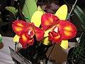 Potinara Tzeng-wen Free -香港沙田洋蘭展 Shatin Orchid Show, Hong Kong- (9255179232).jpg