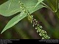 Potter wasp (Vespidae, Parancistrocerus pedestris) (31066493156).jpg