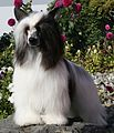 Powderpuff Chinese Crested 6.jpg