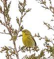 Prairie Warbler (33531756844).jpg