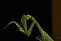 Praying Mantis Sexual Cannibalism European-47.jpg