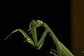 Praying Mantis Sexual Cannibalism European-47.jpg