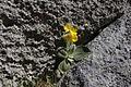Primula auricula - pod Staničevim vrhom.jpg