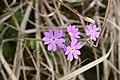 Primula farinosa, RNN Remoray - img 20885.jpg