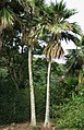 Pritchardia maideniana (5644375556).jpg
