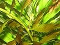 Proserpinaca palustris 001.jpg