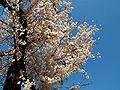 Prunus serrulata 2005 spring 020.jpg