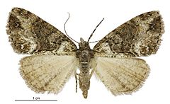 240px pseudocoremia suavis female