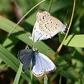 Pseudozizeeria maha 2011-10-16.jpg