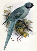Drawing of blue parrot with darker wings and head