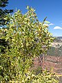 Ptelea trifoliata kz06.jpg