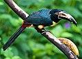 Pteroglossus torquatus -near Rancho Naturalista, Cordillera de Talamanca, Costa Rica-8.jpg