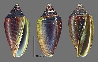 <i>Pterygia conus</i> species of mollusc