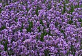 Purple (34647427764).jpg