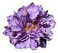 Purple Clematis cultivar.jpg