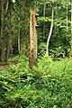 Puszcza białowieska fragmenty rezerwatu ścisłego a2.JPG