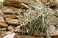 Puya laxa HabitusInflorescence BotGardBln0906k.jpg