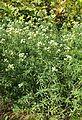 Pycnanthemum virginianum kz2.jpg