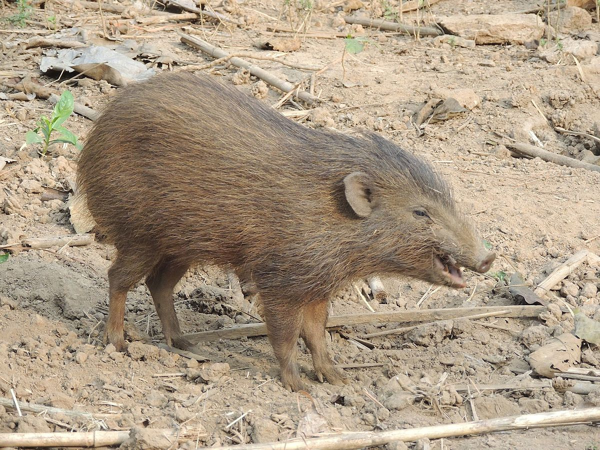 Zwergwildschwein – Wikipedia