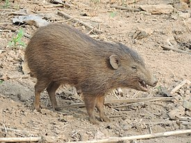Pygmy hog in Assam breeding centre AJT Johnsingh.JPG