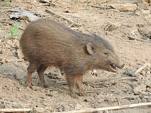 Pygmy hog - Image: Pygmy hog in Assam breeding centre AJT Johnsingh