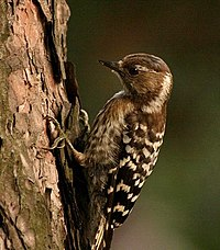 Pygmy woodpecker.jpg