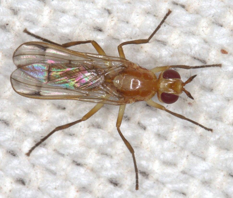 Pyrgotidae Diptera Dorsal Johan Heyns