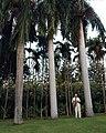 Queen palm trees in Maui.jpg