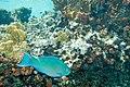 Queen parrotfish Scarus vetula (2442375123).jpg
