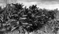 Queensland State Archives 4354 Tobacco plants Texas Southern Queensland c 1930.png