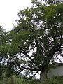 Quercus cerris Bosilegrad 1.JPG