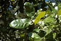 Quercus chapmanii (24158442305).jpg