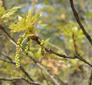 Quercus georgiana - Catkins on a Georgia oak