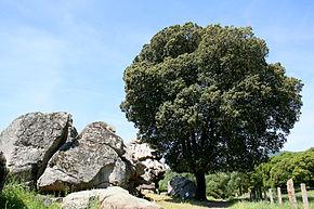 arbre eucalyptus
