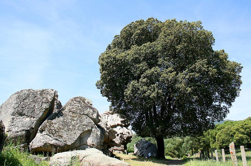 arbre chêne vert
