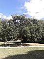 Quercus macrocarpa Parc Montsouris.jpg