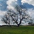 Quercus pyrenaica near Castelo de Vide, Povoa e Meadas.jpg