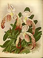 R. Warner & B.S. Williams - The Orchid Album - volume 11 - plate 496 (1897).jpg