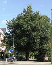 RN Ulmus minor Schuurhoek ( beethovenstraat amsterdam).jpg