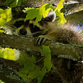 Raccoon-27527-4.jpg
