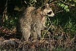 Raccoon i Hugh Taylor Birch State Park 2.JPG