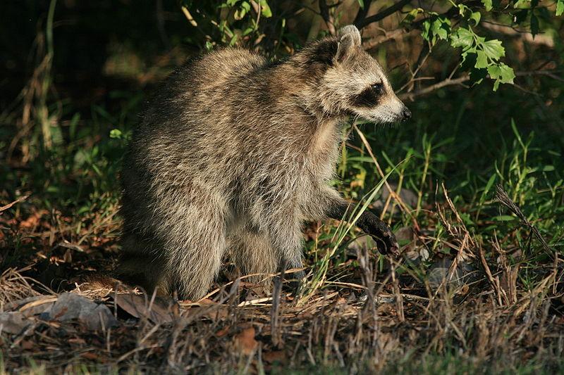 File:Raccoon i Hugh Taylor Birch State Park 2.JPG