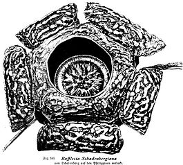 Rafflesia schandenbergiana illustration.jpg