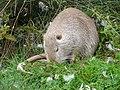 Ragondin (Myocastor coypus) (11).jpg
